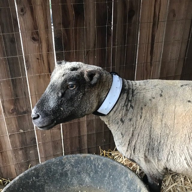 sheep-goat-collar-safety-lights-pet-dog-collar
